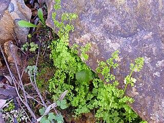 Helecho Anogramma leptophylla 2010-4-08 SierraMadrona.jpg