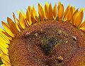 Helianthus annuus-IMG 9245.jpg