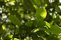 Helicia cochinchinensis (35635107576).jpg
