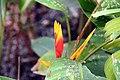 Heliconia psittacorum x Heliconia spathocircinata 1zz.jpg