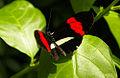 HeliconiusButterfly.jpg