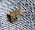 Hellula undalis Old World Webworm. Pyralidae - Flickr - gailhampshire.jpg