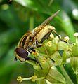 Helophilus hybridus. Syrphidae - Flickr - gailhampshire (1).jpg