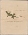 Hemidactylus flaviviridis - 1700-1880 - Print - Iconographia Zoologica - Special Collections University of Amsterdam - UBA01 IZ12300071.tif