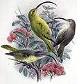 Hemignathus procerus.jpg