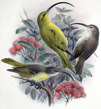 Kauaʻi ʻakialoa - 1: male 2: juvenile 3: female