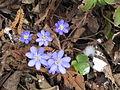 Hepatica nobilis003.jpg