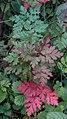 Herb Robert (Geranium robertianum) - Kitchener, Ontario 02.jpg