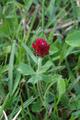 Herbstein Lanzenhain Oberwald Trifolium pratense americanum.png