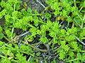 Herniaria glabra1.JPG
