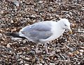 Herring Gull 009.JPG
