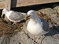 Herring gull SML.jpg