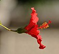 Hibiscus Flower by m.shattock.jpg