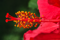 Hibiscus rosa-sinensis 'Brilliant' stigmas and stamens in private Austrian garden on 2014-09-20.png