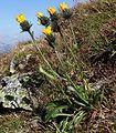 Hieracium alpinum a3.jpg