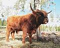 Highland cattle male.jpg