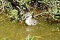 Himantopus mexicanus knudseni chick original.jpg