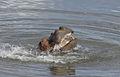Hippopotamus study (sequence) at Kruger National Park (12156329824).jpg