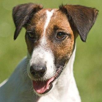 Fox Terrier - Head of a Smooth Fox Terrier