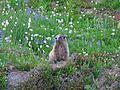 Hoary marmot, Marmota caligata - Flickr - GregTheBusker.jpg