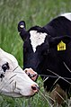 Holstein Cow Grazing 06.jpg