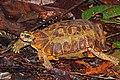 Home's hinge-back tortoise (Kinixys homeana).jpg