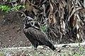 Hooded vulture, Ghana.jpg