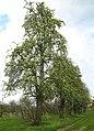 Hoogstam perenbomen langs N80 Gingelom - panoramio.jpg