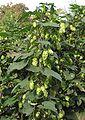 Hop bloemen vrouwelijke plant Humulus lupulus female.jpg