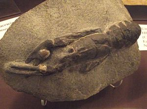 Homarus - Fossil of Hoploparia bearpawensis; the relationships between Homarus and Hoploparia remain unclear.