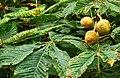 Horse chestnuts, Downpatrick - geograph.org.uk - 977718.jpg