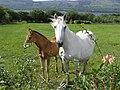 Horses, Derryherk - geograph.org.uk - 1422038.jpg