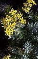 Hubertia tomentosa flowers.JPG