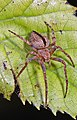 Humpbacked Orbweaver - Eustala anastera or cepina, Lake Ridge Park, Woodbridge, Virginia.jpg