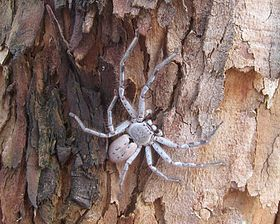 Huntsman spider Holconia sp.jpg