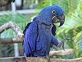Hyacinth Macaw RWD2.jpg