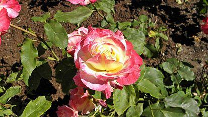 Hybrid Tea - Double Delight 9 (cr).JPG