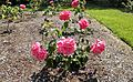 Hybrid Tea - Miss All American Beauty 13 (c).JPG