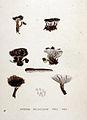 Hydnum melaleucum — Flora Batava — Volume v19.jpg
