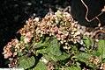Hydrangea macrophylla Madame Emile Mouillere 2zz.jpg