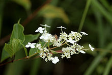 hydrangea paniculata - Hydrangea