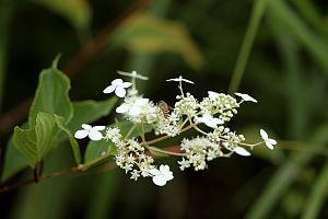 Hydrangea - Hydrangea paniculata