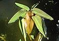 Hygroryza aristata 070719 03.jpg
