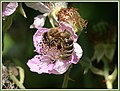 Hymenoptera on flowers (28805155248).jpg
