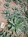 Hyoscyamus niger sl22.jpg