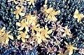 Hypericum balearicum L. (7569308048).jpg