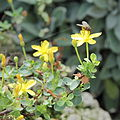 Hypericum pallens-IMG 5533.jpg