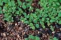 Hypericum perforatum plantlets.jpg