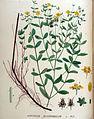 Hypericum quadrangulum — Flora Batava — Volume v18.jpg