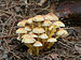 Hypholoma fasciculare LC0091.jpg